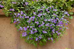 Aubretia flowers outdoors. A mass of purple aubretia flowers growing over the rim of a planter Royalty Free Stock Images