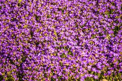 Aubretia flowers in spring in Germany. In a full frame Royalty Free Stock Image
