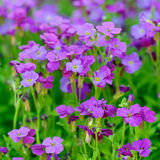 Aubretia purple blossom Stock Photo