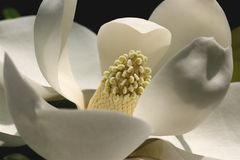 Aubrey. A Magnolia taken in Summerville SC Royalty Free Stock Photography