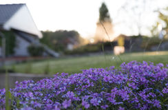 aubrieta剪报dff花开花图象查出的路径春天白色 免版税库存照片
