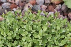 Aubrieta紫色开花 库存图片