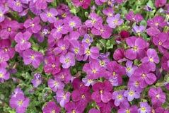 Aubrieta紫色开花 图库摄影