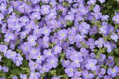 Aubrieta紫色蓝色开花 免版税库存图片