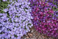Aubrieta紫色蓝色开花 免版税库存照片