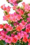 Aubrieta 在轻的背景的美丽的花 免版税库存照片
