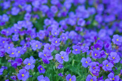 Aubrieta, aubrietien Royalty Free Stock Photo
