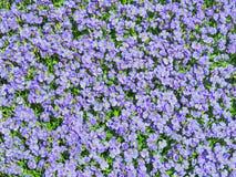 Aubrieta blommar mycket liten blå sommar bakgrund Fotografering för Bildbyråer