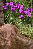 Aubrieta blommor Royaltyfria Bilder
