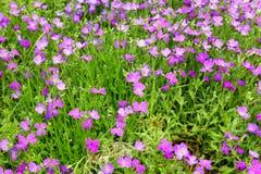 Aubrieta blommor Arkivbild