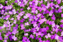 Aubrieta blommor Royaltyfri Bild