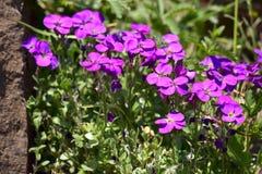 Aubrieta blommor Arkivbilder
