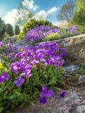 Aubrieta cultorum flowers Royalty Free Stock Image