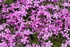Aubrieta cultorum Royalty Free Stock Photo