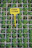 Aubrieta royalty free stock image