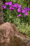 Aubrieta flowers. In the stone garden, summer, Saarland / Germany Royalty Free Stock Images