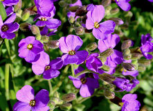 Aubrieta flowers Royalty Free Stock Images