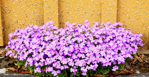 Aubrieta flowers Royalty Free Stock Photo
