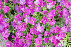Aubrieta flowers Stock Photography