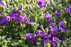 Aubrieta flowers Royalty Free Stock Photo