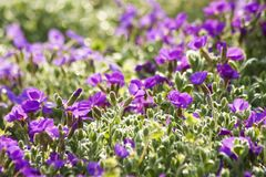 Aubrieta flowers Stock Photography