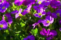 Aubrieta hybrida violet Obrieta Royalty Free Stock Images