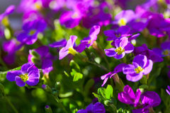 Aubrieta hybrida violet Obrieta Stock Image