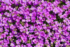Aubrieta Purple Cascade Royalty Free Stock Image
