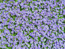 Aubrieta tiny blue summer flowers background. Sunlit flowering meadow with million Aubrieta tiny blue summer flowers background Stock Image