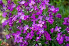 aubrietia flowerbed Obraz Royalty Free
