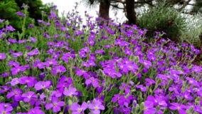 Aubrietta alpino nel rockery di primavera durante la fioritura un giorno soleggiato immagini stock libere da diritti