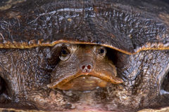 Aubry's flapshell turtle (Cycloderma aubryi) Royalty Free Stock Photography