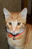 Auburn cat Royalty Free Stock Images
