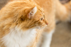 Auburn cat looking away. A cat in orange color walks in his business Stock Photography