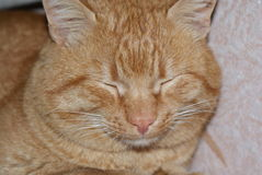 Auburn color cat sleeps Royalty Free Stock Photo