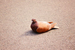 Auburn dove on the road. Auburn pigeon sitting on asphalt Stock Photo