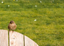 Auburn sparrow Stock Image