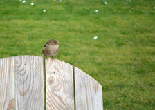Auburn sparrow Royalty Free Stock Photo