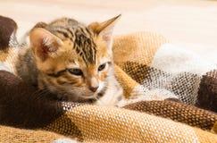 Auburn spotted kitten sitting in a blanket close up. Auburn spotted kitten sitting in a blanket Stock Photos