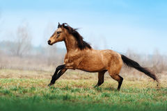 Auburn stallion runs gallop on the field on a blurred background Royalty Free Stock Photography