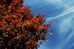 Auburn Tree. An auburn tree slowly losing it's leaves in the cool Fall breeze Stock Photo