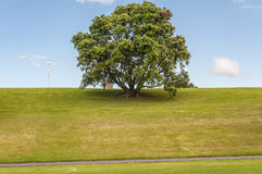 Auckland Domain. New Zealand, big tree at Auckland Domain royalty free stock images