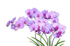 Auckland felice del Ho di Phalaenopsis Fotografie Stock