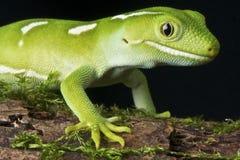 Auckland Green Gecko. Naultinus elegans elegans, Auckland Green Gecko, studio shot Netherlands, 20th of May 2012 Stock Photo