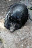 Auckland Island Pig. The Auckland Island pig is a feral (but now conservation-managed) landrace of domestic pig (Sus scrofa) found on subantarctic Auckland Stock Photography