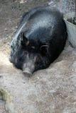 Auckland Island Pig Stock Photography