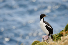 Auckland Island Shag Royalty Free Stock Photo