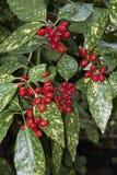Aucuba与被察觉的叶子和果子的japonica灌木 免版税库存图片