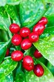 Aucuba japonica Stock Image