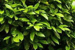Aucuba japonica Stock Images